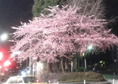 �上野公園の早咲きの桜