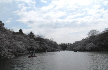 井の頭公園の桜_140401