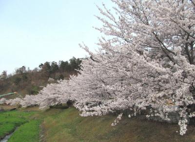 �長野の桜