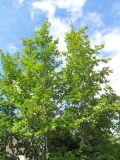 ナツツバキの木