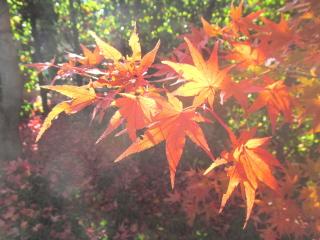 庭先の紅葉