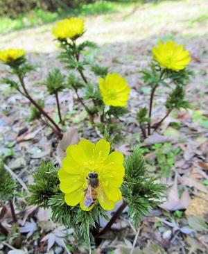 福寿草の花とミツバチ