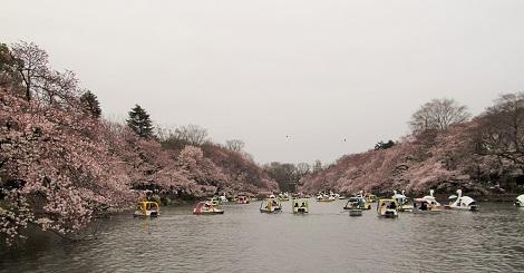 2015_桜1