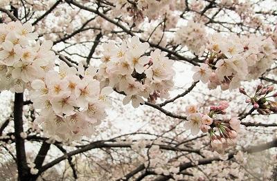 2015_桜2