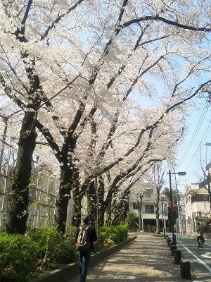 2015_桜3