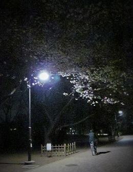 2015_桜4
