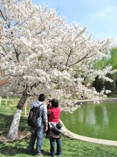 北京・龍潭公園のソメイヨシノ_2
