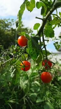 田舎の野菜