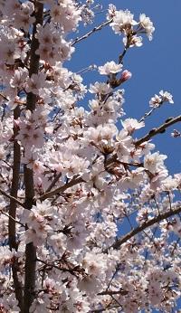 桜の宴2018-7