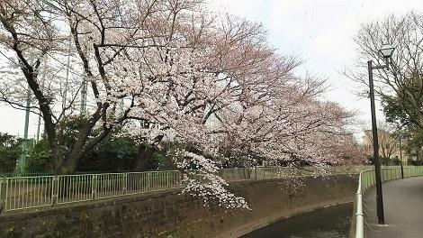 神田川お花見2019_1
