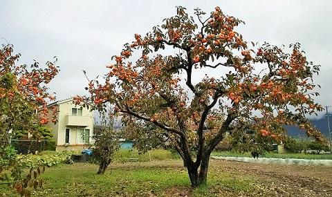 実家の柿畑で_1