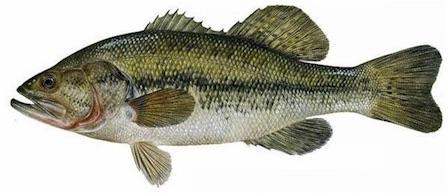 外来魚(ブラックバス,ブルーギル)