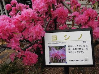 シャクナゲ(赤い花ヨシノ)
