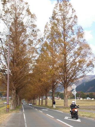 メタセコイア並木道(滋賀県高島市)