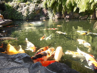 嵐ファンクラブの聖地の大野神社の錦鯉