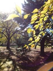 新宿御苑、桜の紅葉☆16-11-3