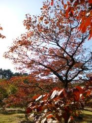 新宿御苑、ハナミズキ紅葉☆16-11-3