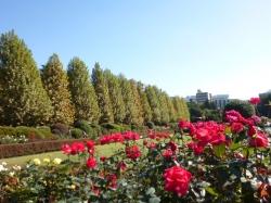 新宿御苑、紅とプラタナスと青空☆16-11-3