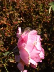 新宿御苑、薔薇とトンボ☆16-11-3