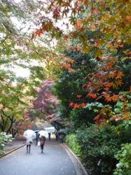 新宿御苑、カエデ紅葉と雨☆16-11-24