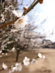 新宿御苑、梅の花☆17-3-1