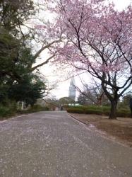 新宿御苑、カンザクラ散り始め☆17-3-7