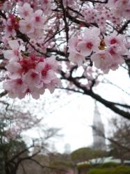 新宿御苑、カンザクラとドコモタワー☆17-3-7