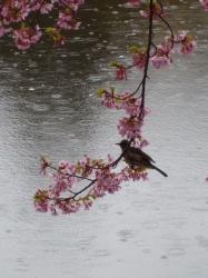 新宿御苑、修善寺寒桜と雨☆17-3-7