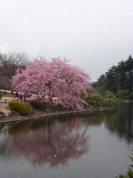 新宿御苑、修善寺寒桜と中の池☆17-3-7