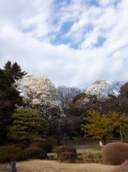 新宿御苑、ハクモクレン、日本庭園☆17-3-17
