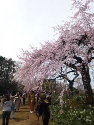 新宿御苑、シダレザクラ☆17-3-23