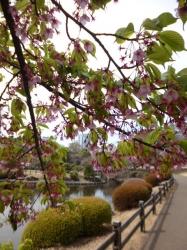 新宿御苑、葉桜のシュゼンジカンザクラ☆17-3-23