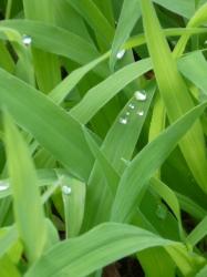 草の葉の水滴☆17-8-12