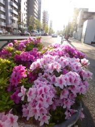 ツツジ、青梅街道☆18-4-19