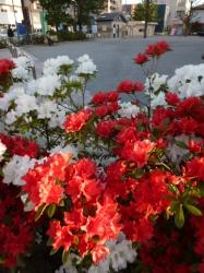 ツツジ、杉山公園の紅と白☆18-4-19