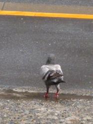 雨上がりのハト☆18-4-25