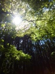 愛鷹山、杉林☆18-4-28