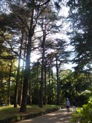 新宿御苑、ヒマラヤシーダーの森☆18-5-5