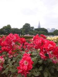 新宿御苑バラ園、ピカソ☆18-5-17