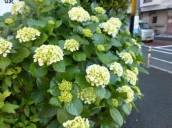 紫陽花、青梅街道☆18-5-22