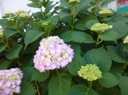紫陽花、中野新橋入口☆18-5-22