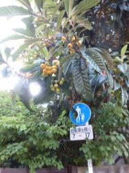 裏通りのビワの木☆18-5-25