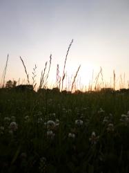 平和の森公園、爪草と夕焼け☆18-6-2