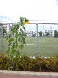 台風後のヒマワリ、うなだれ、本町公園☆18-8-9