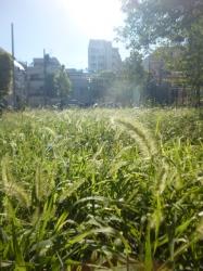 秋の兆しエノコログサ(ネコジャラシ)、本町公園☆18-8-17