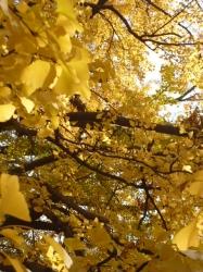 新宿御苑、イチョウの枝葉☆18-12-4