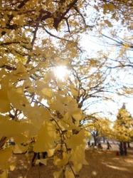 新宿御苑、イチョウの葉木漏れ日☆18-12-4
