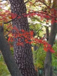 新宿御苑、紅葉と松の幹、玉藻池裏☆18-12-4