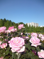 新宿御苑バラ園、プリンセスドゥモナコ☆19-5-17