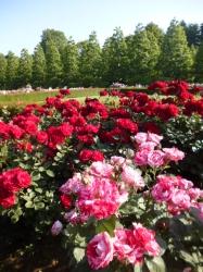 新宿御苑バラ園、リリーマルリーンとアラベスク☆19-5-17